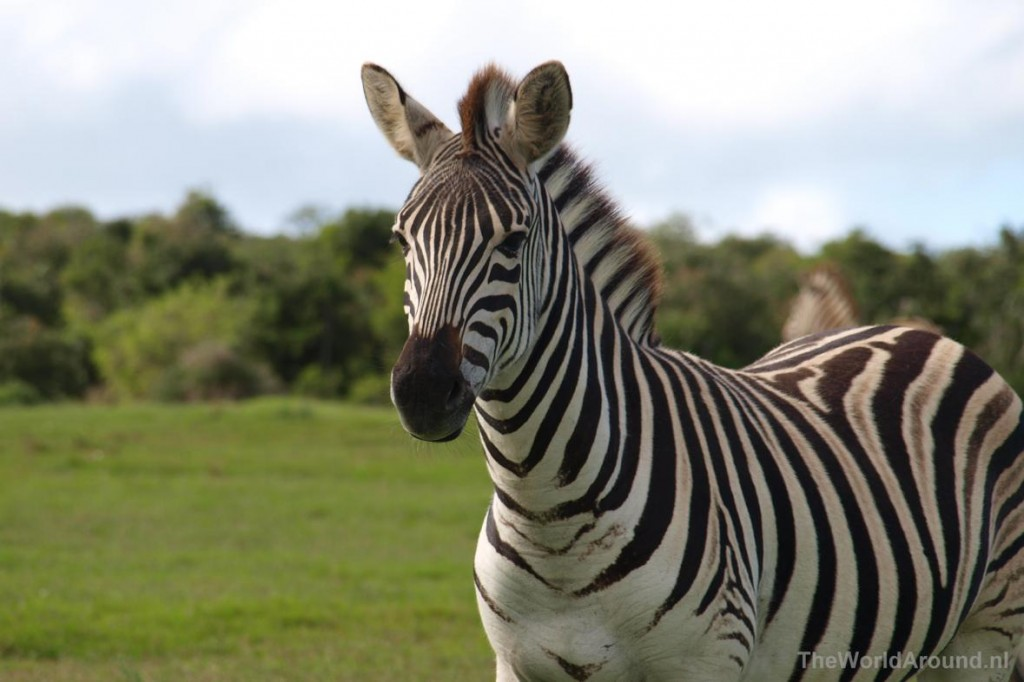 Een zebra in het Addo Elephant National Park